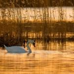Cygnus Olor Natural Habitat Morning