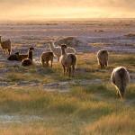Lamas in the sunset San Pedro de Atacama - Chile